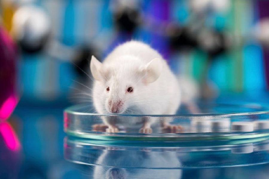 Alzheimer: un nouveau modèle animal pour mieux comprendre la maladie